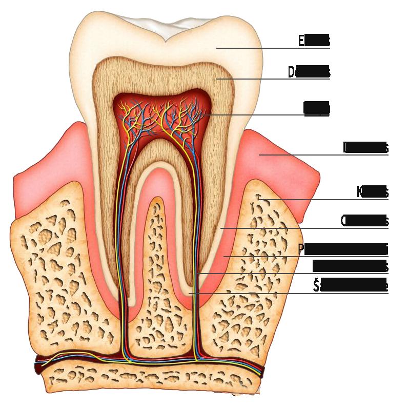 Endodontinis_gydymas